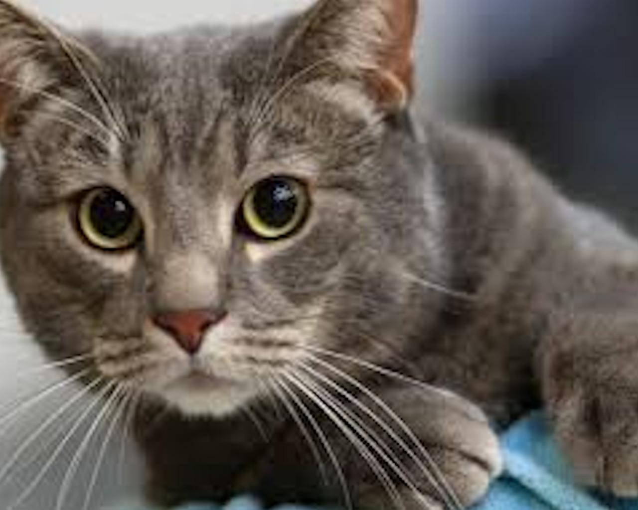 γατες,γατα,γατακι,γατα χωρισ τριχωμα,γατακια,γατα ονειροκριτησ,γατα περσιασ,γατα βεγγαλησ,γατα σιαμ,γατα αγκυρασ
