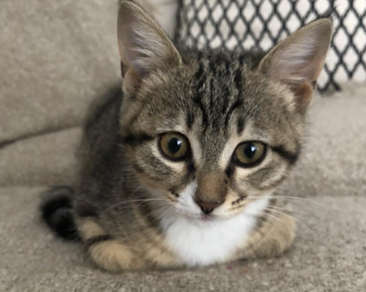 γατα,γατακια,γατα ονειροκριτησ,γατα περσιασ,γατα βεγγαλησ,γατα σιαμ,γατα αγκυρασ,γατακι,γατα χωρισ τριχωμα